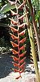 蝎尾蕉屬 Heliconia longissima -新加坡植物園 Singapore Botanic Gardens- (14913315053).jpg