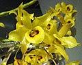 鉻黃石斛 Dendrobium friedericksianum -香港蘭花節 Hong Kong Orchid Festival- (41478732692).jpg