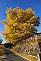 長楽寺の大銀杏 - Large ginkgo biloba of the Choraku temple - panoramio (1).jpg