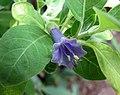 長筒曼陀羅屬 Iochroma australe (Dunalia australis) -哥本哈根大學植物園 Copenhagen University Botanical Garden- (36808209636).jpg