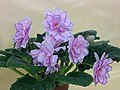 非洲紫羅蘭 Saintpaulia King's Ransom -香港北區花鳥蟲魚展 North District Flower Show, Hong Kong- (23781296699).jpg