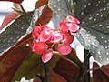 麻葉秋海棠 Begonia Lucerna -香港嘉道理農場 Kadoorie Farm, Hong Kong- (9204858455).jpg