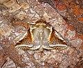 -1653- Buff Arches (Habrosyne pyritoides) (43027554125).jpg