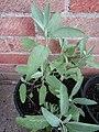 -2019-08-05 Sage (Salvia officinalis) plant in a pot, Trimingham.JPG