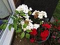 -2020-07-16 White Geranium (Pelargonium × hortorum), Trimingham, Norfolk.JPG