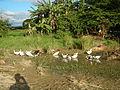 0006jfLandscapes Ducks Grass Roads Maronquillo San Rafael Bulacanfvf 04.JPG