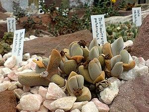 Dinteranthus microspermus puberulus - Botanica...
