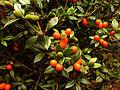00515 - Alyxia ruscifolia.JPG