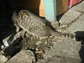0560Cat portraits in the Philippines 04.jpg