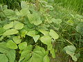 09438jfFranza Halls Vigna radiata Plants Science Munoz Ecijafvf 06.JPG