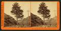 1,000-mile Tree, Weber Canyon, Utah. U.P.R.R, by Watkins, Carleton E., 1829-1916.png