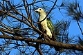 15I1828 Green Imperial Pigeon (38017074351).jpg