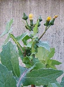 Lletsó (Font: ca.wiquipèdia.org)