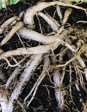 Chlorophytum comosum - Fleshy roots of pot-grown Chlorophytum comosum
