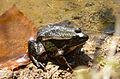 200802241300d (Hartmann Linge) Weschnitztal Frosch.jpg
