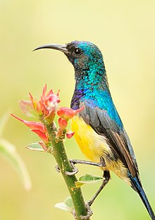 2009-variable-sunbird.jpg