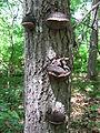 2012-06-29 Phellinus nigricans (Fr.) P. Karst 231934.jpg