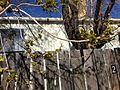 2013-04-18 15 17 29 Siberian Elm flowering in Elko, Nevada.JPG
