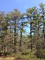 2013-05-10 10 48 43 Large Virginia Pine (left) and Pitch Pine (right) along the Mount Misery Trail where it overlaps Butterworth Road in Brendan T. Byrne State Forest.jpg