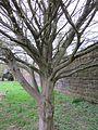 20130420Carpinus betulus quercifolia Staden1.jpg