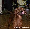 2013 Westminster Kennel Club Dog Show- Redbone Coonhound CH Twisted Creek Gentlemen, Start Your Engines (8466660916).jpg