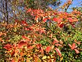2014-11-02 13 57 08 Sassafras foliage during autumn along Poor Farm Road in Hopewell Township, New Jersey.jpg