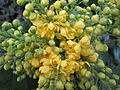 20140315Mahonia aquifolium1.jpg