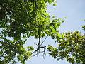 20140606Vitis vinifera subsp. sylvestris09.jpg