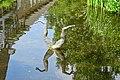 20140822 Duikende kikker bij Begijnenmolen Park Sonsbeek Arnhem.jpg