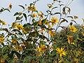 20140928Helianthus tuberosus1.jpg