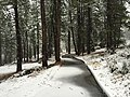 2015-11-02 07 29 03 View east through snow-covered Pine trees along the Truckee River Legacy Trail during a snowstorm at Truckee River Regional Park in Truckee, California.jpg