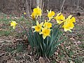 2016-03-10 15 11 15 Daffodils within Ellanor C. Lawrence Park in Fairfax County, Virginia.jpg