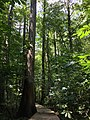 2016-07-20 14 35 10 View along the boardwalk trail at the Battle Creek Cypress Swamp in Calvert County, Maryland.jpg