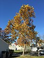 2016-11-18 12 28 56 American Sycamore displaying autumn foliage along Apple Barrel Court in the Franklin Farm section of Oak Hill, Fairfax County, Virginia.jpg