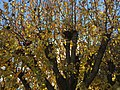 2016-12-01 09 54 59 Callery Pear autumn foliage along Tranquility Court in the Franklin Farm section of Oak Hill, Fairfax County, Virginia.jpg