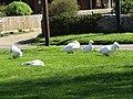 2018-05-05 Geese on East Runton Top Common, East Runton.JPG
