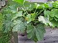 2018-06-18 (112) Cucurbita pepo subsp. pepo Zucchini (zucchini) at Bichlhäusl in Frankenfels, Austria.jpg