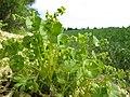 20180429Claytonia perfoliata2.jpg