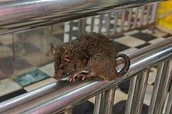 20191212 Szczury w Świątyni Karni Maty w Deśnok 1038 8111 DxO.jpg