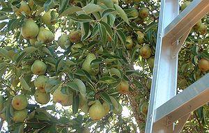 Bartlett pear, British Columbia, Canada Catego...