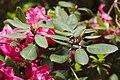 20200503Rhododendron Deutsch-Franzoesischer Garten 02.jpg
