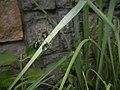4733Common houseflies in Philippines 02.jpg