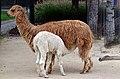 50 Jahre Knie's Kinderzoo - Vicugna pacos (Alpaka) 2012-10-03 16-15-20.JPG