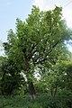 51-101-5018 дуб Лемме, Одеса.jpg