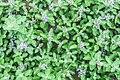 555594031 Taijiang National Park CHIU,CHIH-CHENG 蔓荊 花星點點.jpg