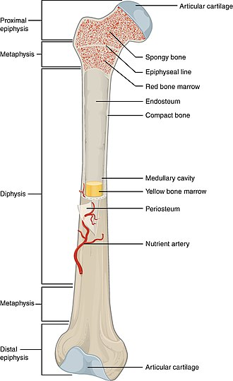 Anatomical terms of bone - Gross overview of the features of long bones in a fully grown adult.