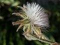 A.integrifolia-cap.-5d.jpg