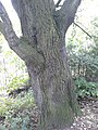 AZ0059 Ulmus x hollandica. Regent Park Road (17).jpg
