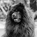 A Chow Chow called Ling Chao (33832040588).jpg