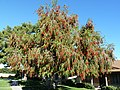A Vigorous Bottlebrush Tree, Callistimom viminalis, 2012 - panoramio.jpg
